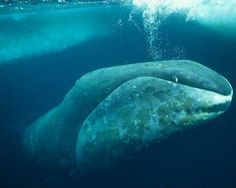 Bowhead whale, otherwise known as the Artic whale, one of the longest living mammals on Earth. The oldest known whale is 211 years old