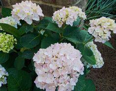 'Blushing Bride' hydrangea