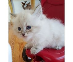 Blue lynx point Siberian kitten with blue eyes. Siberian