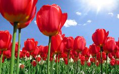 red  | Red Tulip Flowers Fields Wallpapers | All Flowers | Send Flowers ...
