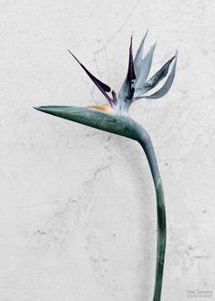 Vee Speers – Botanica, Strelitzia Reginae