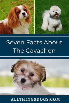 11 Nope This Kind Instead Ideas In 2021 Cavachon Puppies Cavachon Puppies