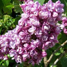 Syringa vulgaris 'Paul Thirion'