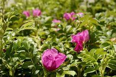 Kurtturuusujen myynti on lopetettava kesäkuun alussa ja niiden kasvattaminen kolmen vuoden kuluttua. Suositusta koristekasvista voi olla vaikea päästä eroon. Plants, Plant, Planets