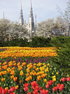 Tulips, Ottawa, Ontario