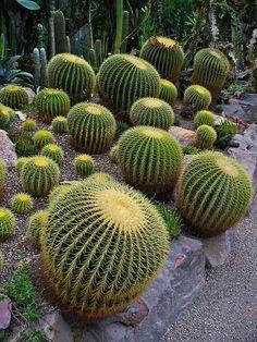 Echinocactus grusonii, Cactaceae, Golden Barrel Cactus, Golden Ball ...