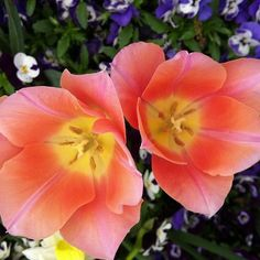 Double 'Apricot Beauty' Tulipa to brighten your day.  (at Lewis Ginter Botanical Garden)