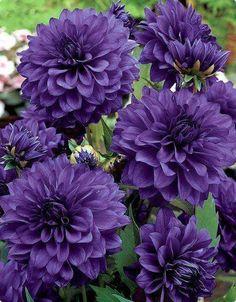 Purple Dahlia ....  Beautiful