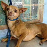 Pet Card Pet Adoption Chihuahua Chihuahua Puppies For Sale