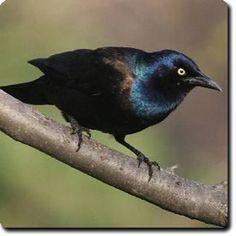 Learn About Your Backyard Birds – Backyard Wild #Bird Directory – Common #Grackle