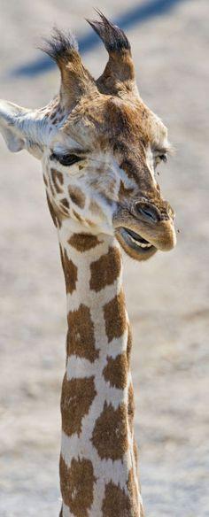 Giraffe <3 tehe that face