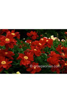 Topeka Garnet Peony — Countryside Gardens, Inc. Buy Peonies, Gold Medal Winners, Horticulture, Dark Red, Peony, Garnet, Countryside, Bloom, Seasons