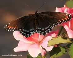 Red Spotted Purple (Limenitis arthemis) Huntley, Illinois  August 2008  Photo by Bob Williams