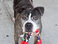 Safe  2-8-2016 Brooklyn  Rescue: Rescue Dogs Rock NYC Please honor your pledges: http://rescuedogsrocknyc.org/donate/A1062870_King1