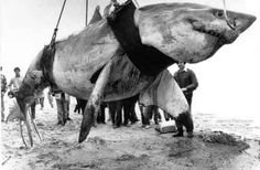 21 ft one of the biggest great white sharks ever caught. An Australian shark-hunter by the name of Vic Hislop captured 1985.
