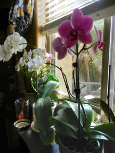 Orchid Care. I love these plants. They are one of the best air purifiers, their blooms are gorgeously exotic, most don't ...