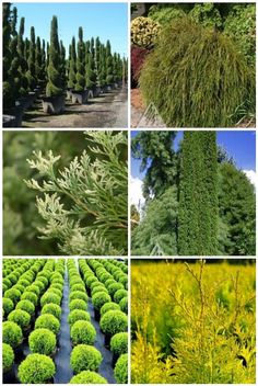 25 Best Zcupressacceae Thuja Images Plants Thuja