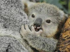 Adorable Zoo Babies You Can Meet This Spring: Koala Joey at Riverbanks Zoo in Columbia, SC #zoobabies
