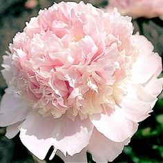 """Peony - """"Angel Cheeks""""/  Soft cameo pink flower with red striping on the dorsal extremities of the top most petals. Sturdy stems support excellent green foliage. Disease resistant and mildly fragrant. Excellent cut flower. American Peony Society Gold Medal Selection    Size: 26"""". Bloom time: Mid. Plant zones: 2-8. Code: 5PEOANGC.  Genus/Common Name: Paeonia/Peony  Flower type: Bomb.   Hybridizer(s): Carl G. Klehm   Color: Pinks  Light Requirements: full sun   Bare Root Size: 3-5 EYE"""