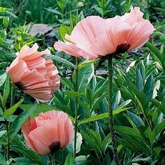 """""""Princess Victoria Louise"""" Oriental poppy, currently sprouting ahead of schedule in the Fargo/Hoyne B&B garden for 2012 bloom.  Looks to be 2X the size of last year already."""