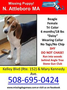 "MISSING PUPPY!! Female Beagle North Attleboro MA 9/14/15 ""Daisy"" is 6 months/18 lbs, Tri Color. Wearing collar. No tags No Chip. Missing from Kelley Blvd (Rte. 152) & Mary Kennedy Ave. SHY DO NOT CHASE! Ran into woods behind Angle Tree Stone Gun Club. Please call owner with any sightings:  508-695-0424 — with Victoria Lynne Callahan."