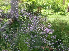 Full size picture of Yunnan Meadow Rue, Chinese Meadow Rue 'Hewitt's Double' (<i>Thalictrum delavayi</i>)