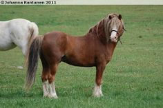 Welsh Mountain Pony (section A) stallion Rookery Jackpot