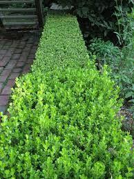 Resultado de imagen para planta ligustrina