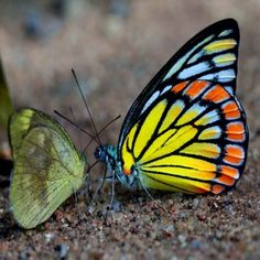 Butterflies: Painted Saw-tooth (Prioneris sita) and Lesser Gull (Cepora nadina)