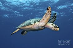 A hawksbill turtle swims just above the seafloor with flippers spread like wings. Hawksbills get their name from their tapered heads, which end in a sharp point resembling a bird's beak.