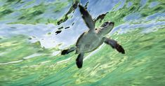 Lady Elliot Island in Queensland offers excellent viewing of turtle hatchlings making their journey to the sea. (Tourism Qld)