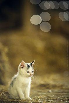 barnyard kitten. by kvdl on Flickr.