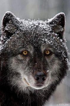 wolf by Henrik Nilsson.