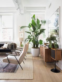 Move over Fiddle Leaf Fig Tree… Hello Bird of Paradise! And light oak floors with walnut stained furniture! Perfect combo.