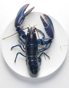 A fan of Lobster? An estimated one in 2 million lobsters are blue. Crab And Lobster, Lobster Art, Live Lobster, Think Food, Ocean Life, Sea Creatures, Navy And White, Navy Blue, Indigo Blue