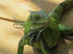 Auf, in die Karibik: Curacao - Roadtrippin' Animals, Iguanas, Caribbean, Island, Animales, Animaux, Animal, Animais