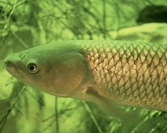 "The ""Grass Carp"", also call White Amur, is the affordable answer to non-chemical control of weeds and other aquatic plants which infest ponds and lakes, foul fishing hooks, choke outboard motors and hinder water sports."