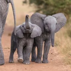 Want to Save the Elephants. Click this link to volunteer and take a fun trip to save the elephants! Cute Baby Animals, Animals And Pets, Funny Animals, Nature Animals, Wild Animals, Elephant Photography, Animal Photography, Nature Photography, Inspiring Photography