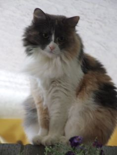 She is about a year old and we think that she is a calico/Rag Doll mix.