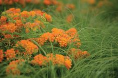 Post image for Companion Plants: Butterfly Weed and Prairie Dropseed