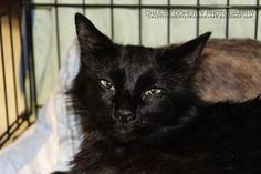 Pictures of Dusty a Domestic Longhair for adoption in Santa Fe, TX who needs a loving home.
