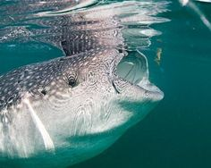 whale shark. ON my top 3 list of creatures I need to meet.