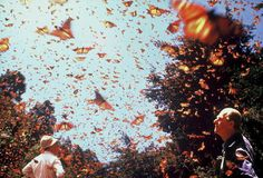 Visit during the Monarch Migration in Mexico - usually during January - February