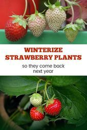 Plants Learn how to overwinter potted strawberry plants to harvest strawberries next year.Learn how to overwinter potted strawberry plants to harvest strawberries next year. Strawberry Plant Care, Strawberry Beds, Strawberry Patch, Potted Plants, Strawberry Garden, Container Plants, Container Gardening, Gardening Tips, Gardens