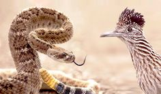 Roadrunner is a kind of long-legged bird in the cuckoo family. That is aggressive and can run faster. The video footage shows a road runner kills a snake in 3 hits. Video - http://www.putvideos.com/2015/07/roadrunner-attacks-rattlesnake.html