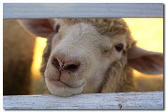 The Sheep Whisperer: Humming Along!