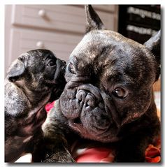 French Bulldog Dad and Son.