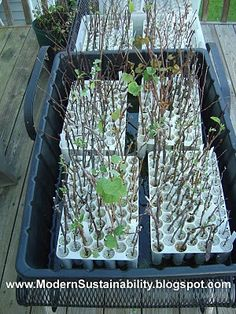 Modern Sustainability...old-fashioned methods: Fruit Trees and Berry Bushes - how to propagate them from cuttings