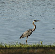 Great Blue Heron - By Valerie Mellema (http://www.photosuwant.com)