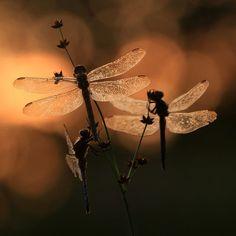 sleeping dragonflies